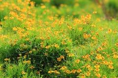 新加坡雏菊花在庭院里 库存照片
