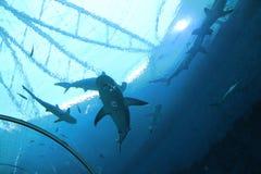 新加坡- 2016年4月13日:鲨鱼游泳是S e Aquariu 库存照片