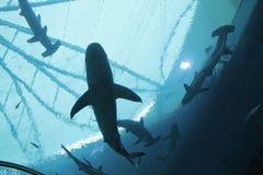 新加坡- 2016年4月13日:鲨鱼游泳是S e Aquariu 图库摄影