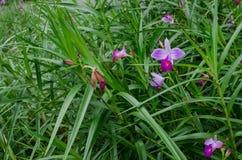 新加坡` s全国花,万代兰属` Joaquim小姐` 免版税库存图片