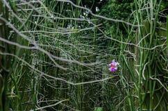 新加坡` s全国花,万代兰属` Joaquim小姐` 免版税图库摄影