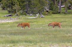 新北美野牛 库存图片
