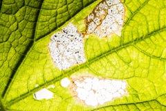 新叶子纹理或叶子背景设计的与拷贝空间文本或图象的 抽象绿色叶子纹理 南瓜叶子 库存照片