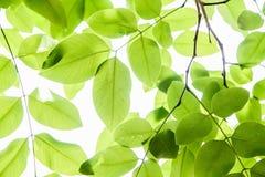 新和绿色叶子自然背景 免版税库存照片