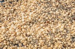 新咖啡豆等待的烘干 免版税库存照片