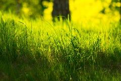 新在太阳光的春天绿草 免版税库存图片