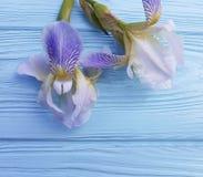 新在蓝色木背景的虹膜开花秀丽设计装饰卡片高雅花 免版税库存照片