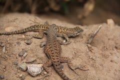 新墨西哥蜥蜴好朋友 免版税库存照片