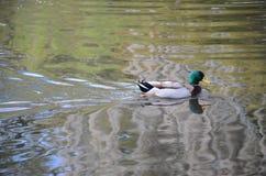 新奥尔良鸭子 免版税库存图片
