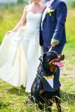 新娘和新郎拉扯在一条皮带的Rottweiler狗在一块绿色沼地的夏天 免版税库存图片