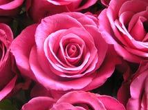 新娘明亮的桃红色玫瑰 库存照片