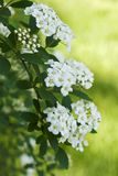 新娘绣线菊类的植物vanhoutte花圈 免版税库存照片