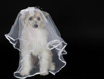 头戴新娘面纱的狗 免版税库存图片