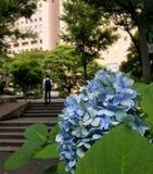 新宿,东京/日本- 2018年6月18日:在前景的蓝色八仙花属与走在后面的步的日本商人 库存照片