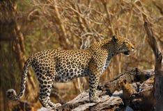 新小熊的豹子 免版税图库摄影