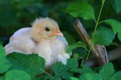 新小鸡 免版税图库摄影