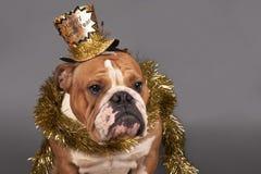 新年英国牛头犬 库存图片