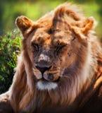 新成年男性狮子纵向。 徒步旅行队在Serengeti,坦桑尼亚,非洲 库存照片
