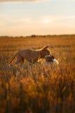 新斯科舍鸭子敲的猎犬和杰克罗素比赛 免版税图库摄影