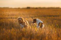 新斯科舍鸭子敲的猎犬和杰克罗素比赛 图库摄影