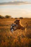 新斯科舍鸭子敲的猎犬和杰克罗素比赛 免版税库存照片
