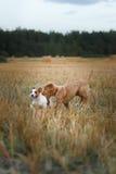 新斯科舍鸭子敲的猎犬和杰克罗素比赛 免版税库存图片