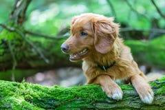 新斯科舍鸭子敲的猎犬在森林里 库存图片