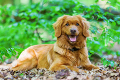 新斯科舍鸭子敲的猎犬在森林里 免版税库存图片