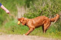 新斯科舍鸭子敲的猎犬户外 免版税库存照片