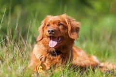 新斯科舍鸭子敲的猎犬的画象 免版税图库摄影