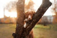 新斯科舍鸭子敲的猎犬,狗在树上把他的爪子放, 免版税库存图片