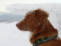 新斯科舍鸭子敲的猎犬画象 库存照片