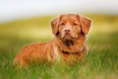 新斯科舍鸭子敲的猎犬 图库摄影