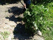 新新出生的烟草植物领域 惊人的烟草种植园 从事园艺的草运载草 库存照片