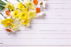 新春天五颜六色的黄水仙花 库存图片