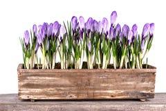 新春天开花在老罐的番红花 库存照片