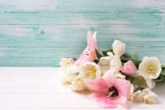 新春天白色和桃红色郁金香 图库摄影