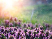 新春天,与阳光的草甸桃红色花, 免版税库存图片