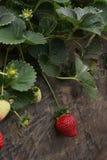 新有机草莓植物关闭 免版税库存图片