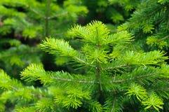 新杉木分支在夏天 库存照片