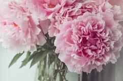 新束桃红色牡丹玫瑰开花,在玻璃花瓶在窗口基石,白色背景的绿色叶子 新的成人 图库摄影