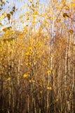 新桦树 库存照片