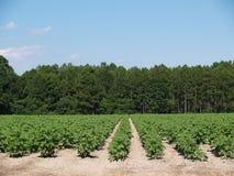 新棉花域绿色未成熟的工厂 免版税库存照片