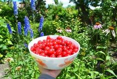 新樱桃收获 成熟甜樱桃收获 免版税图库摄影