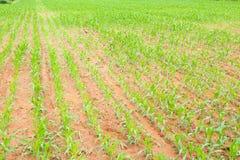 新玉米的行 库存照片