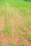 新玉米的行 免版税库存照片