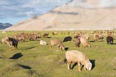 新疆,中国- 2015年5月21日:在Karakul湖的绵羊 一著名l 库存图片