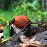 新白杨木蘑菇 免版税图库摄影