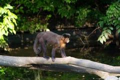 新的世界猴子 库存图片