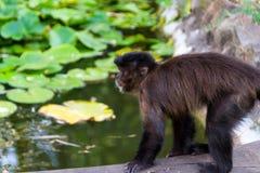 新的世界猴子 免版税库存图片